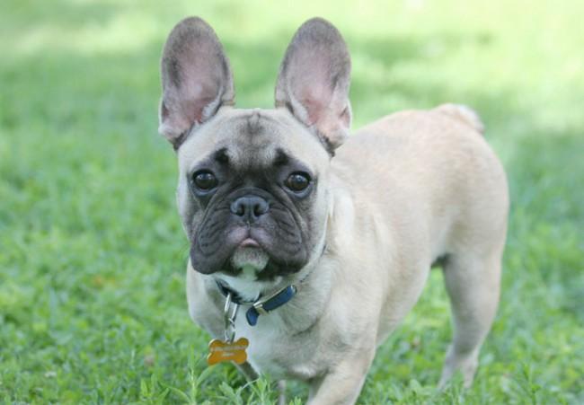 французский бульдог - породы собак с фотографиями