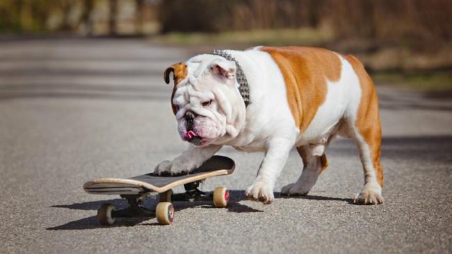 английский бульдог - породы собак с названиями