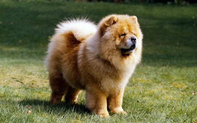 порода собак чау чау с синим языком