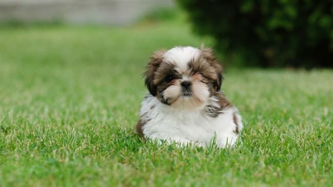 декоративная порода собак ши-тцу фото