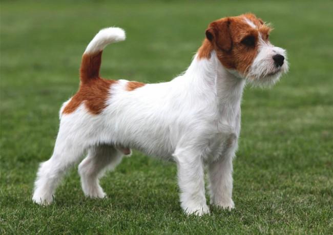 джек рассел терьер - все породы собак