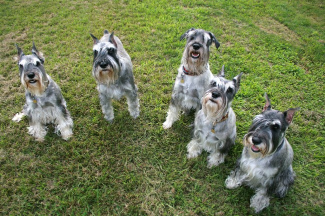 собаки породы миттельшнауцер