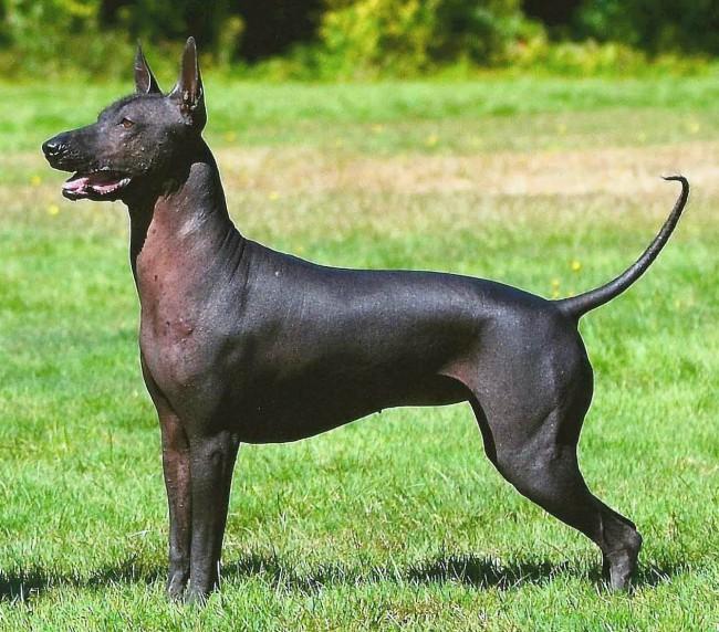 африканская голая собака - лысые породы собак