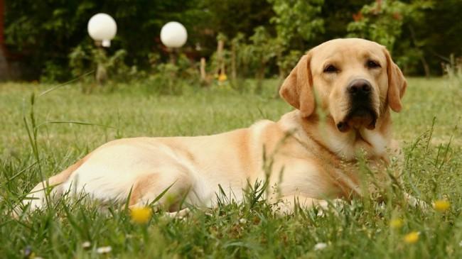 лабрадор - породы собак с фотографиями и названиями пород