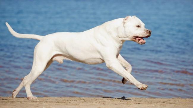 собака аргентинский дог фото