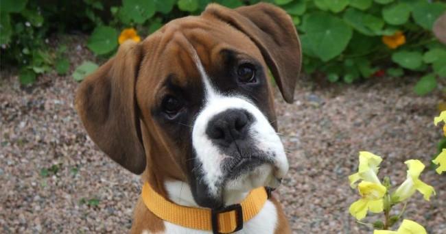 боксер собака фото