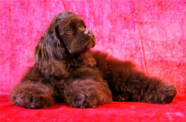 шоколадный щенок американского кокер-спаниеля фото