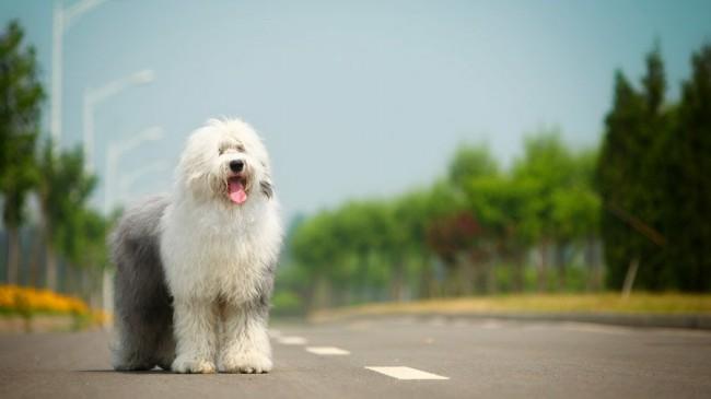 порода собак бобтейл фото и цена