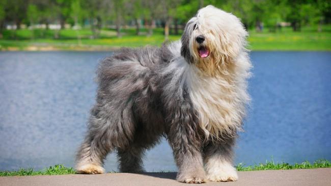 собака бобтейл серого окраса фото