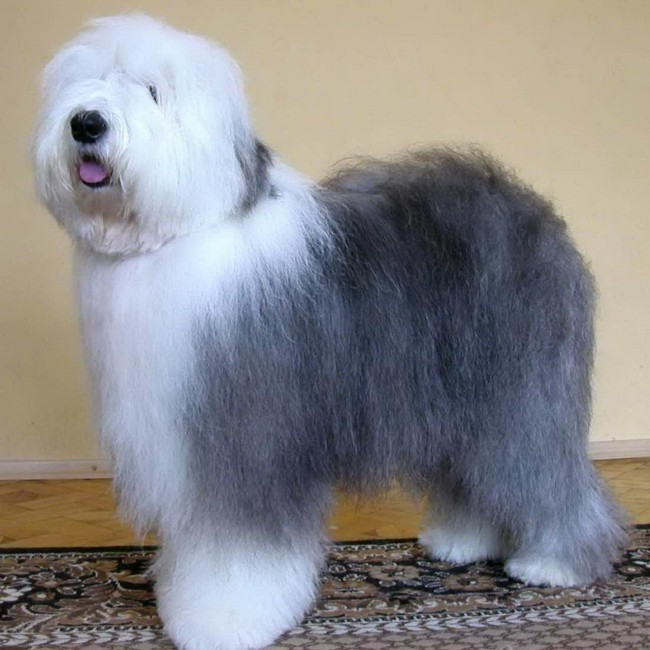 собака бобтейл голубого окраса