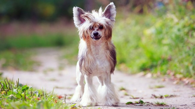 китайская лысая собака отзывы владельцев