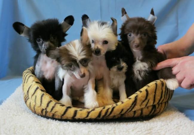 щенки китайской хохлатой собаки фото