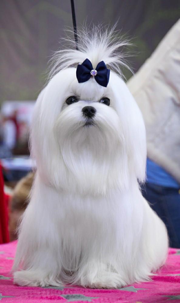 собака мальтийская болонка фото и цена