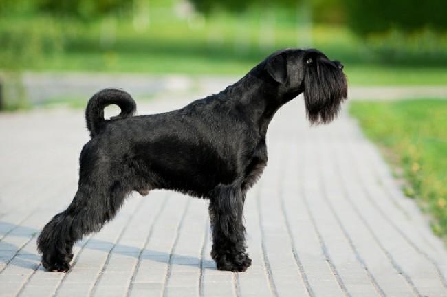 собака миттельшнауцер фото и цена