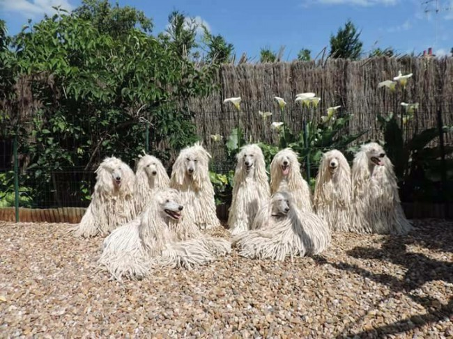шнуровидный пудель фото собаки