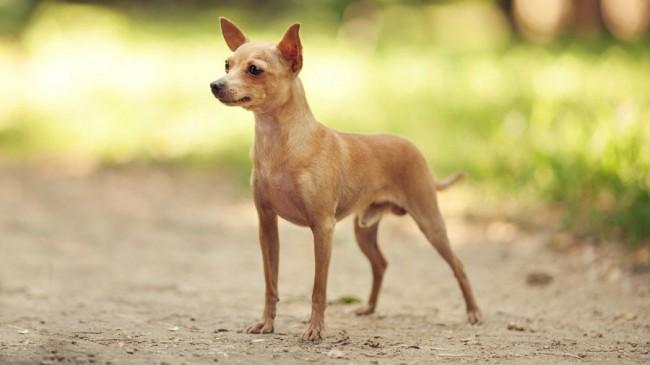 собака породы русский-тойтерьер