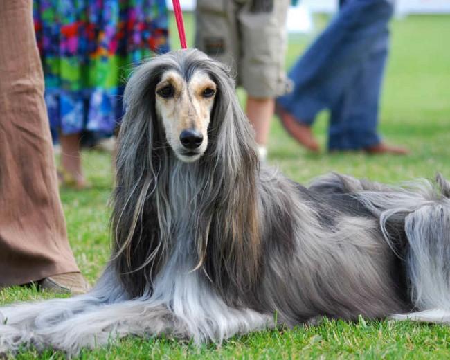 афганская борзая собака фото