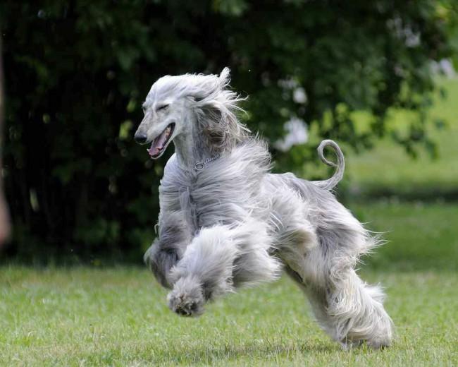 серебристая афганская борзая собака