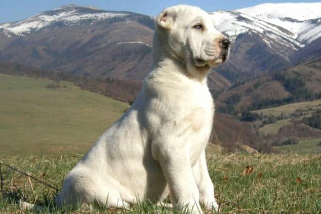 белый щенок среднеазиатской овчарки (алабая)