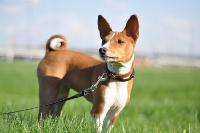 африканская нелающая собака басенджи фото