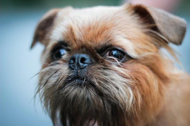 собака брюссельский гриффон