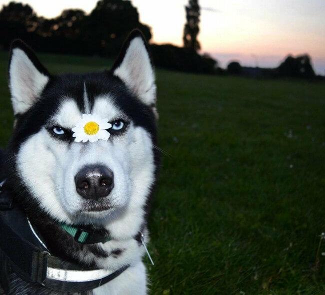 все о породе собак сибирский хаски
