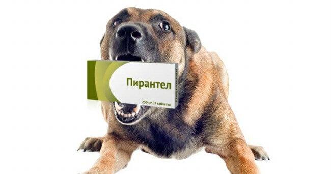 пирантел для собак от глистов