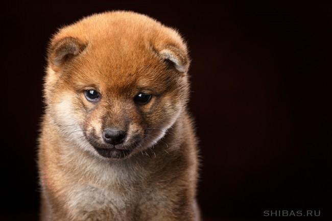 щенок сиба-ину (шиба-ину)