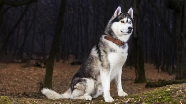 описание породы собак сибирский хаски
