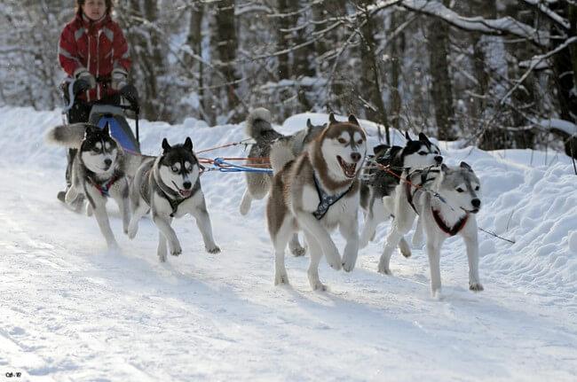 сибирские хаски фото собак в упряжке