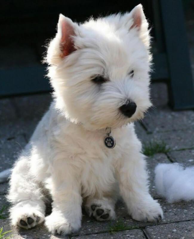 щенок вест-хайленд-уайт-терьера фото