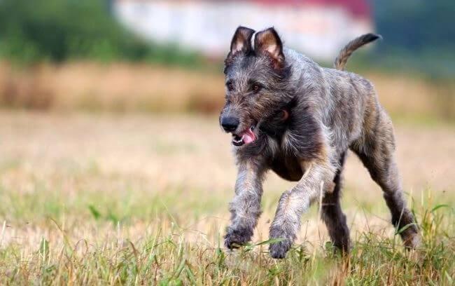 щенок ирландского волкодава
