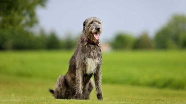 охотничья собака ирландский волкодав фото и цена