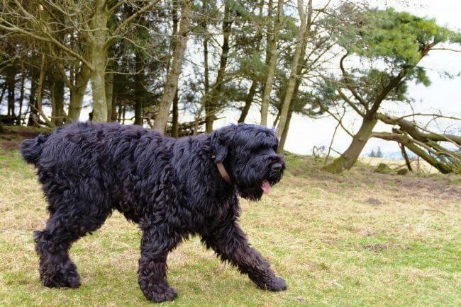 собака русский черный терьер фото и цена