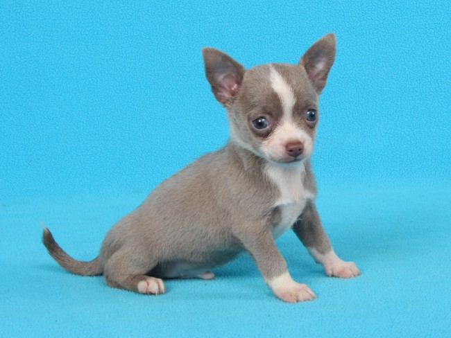 сколько стоит щенок чихуахуа
