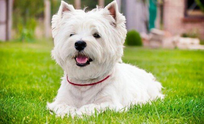 Порода белых собак вест-хайленд-уайт-терьер