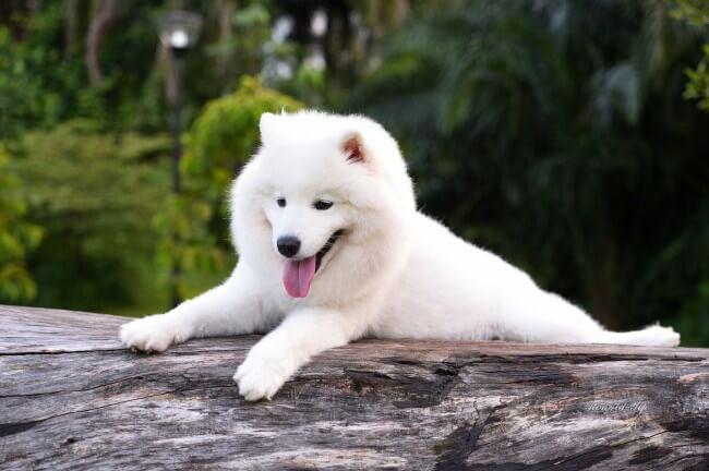 Белый самоед собака