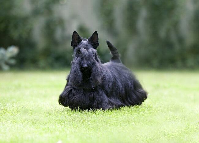 Черный скотч-терьер фото