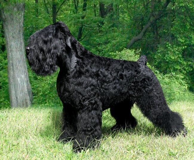 Черная собака русский терьер