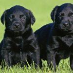Породы черных собак с фото и описанием