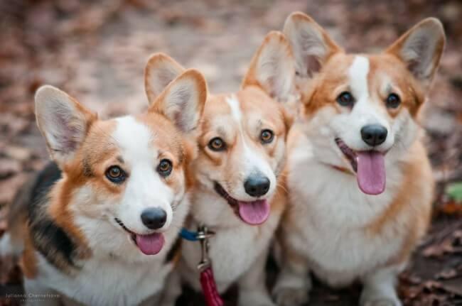 самые красивые породы собак с фото