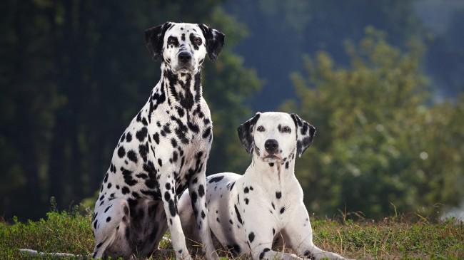 Далматин - одна из красивых пород собак