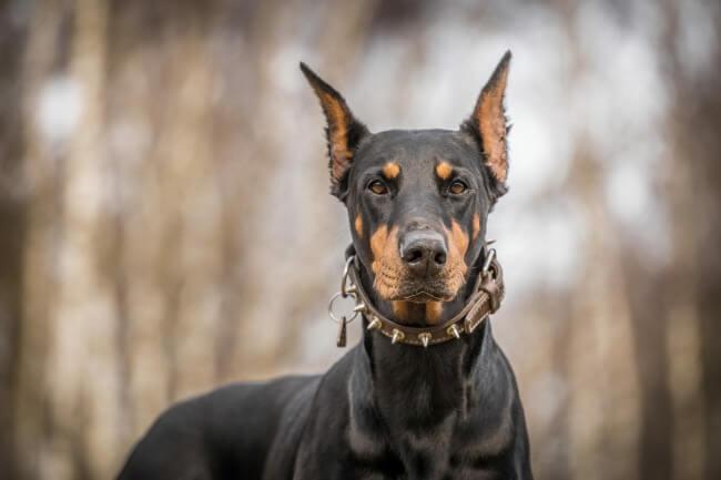 Красивая порода собак доберман
