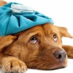 цистит у собаки: диагностика и лечение